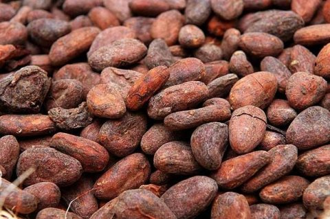 cocoa seeds for sale