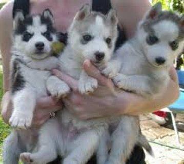 كلاب هاسكي  50 يوم
