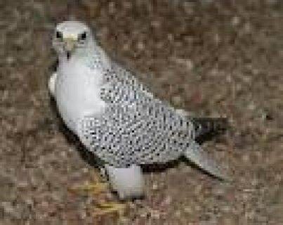 Falcon bird for sale