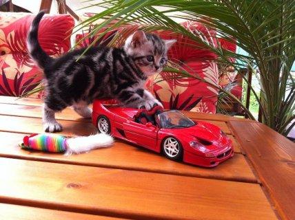 القطط قصيرة الشعر الفاخرة البريطانية في العانس مع نسب    الاتصال