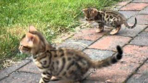 القطط البنغال من الذكور والإناث لاعتماده.