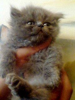 قط ولد شيراز بيور رمادى اللون هاف بيكى فيس أصول زراير