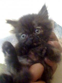 قطة بنوتة شيراز بيور تورتيلا هاف بيكى فيس أصول زراير