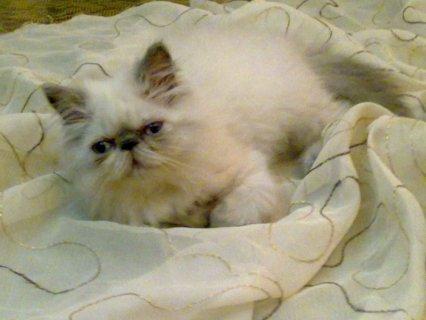 قطة بنوتة هيمالايا بوينت بلو بيكى فيس زورار أصول هيمالايا