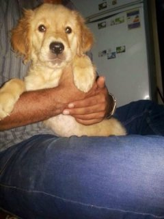 female golden retriever for sale للبيع نتايا جولدن