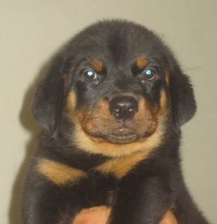 Rotweiller Puppies for Sale