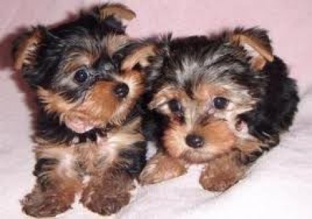 Quality Yorkie Puppies Available