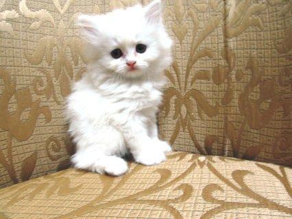 قطة شيرازى بيور للبيع