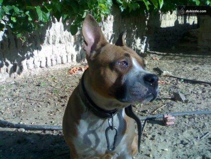 pitpull Dogs for sale...................نتايه بيتبول للبيع