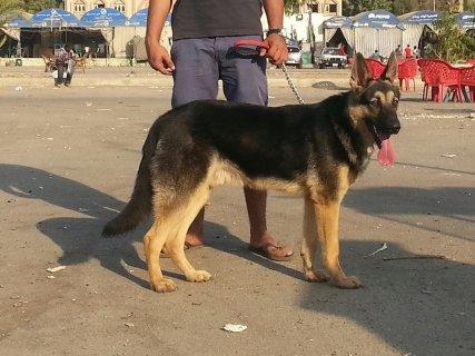 كلب جرمان شبرد 9 شهور للبيع