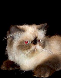 للبيع قطة هيمالايا شوكليت زرار  سنة و شهرين