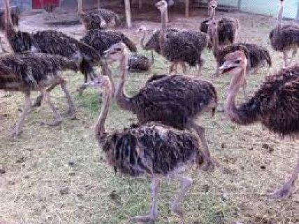 طيور نعام للتربيه والبيع كمشروع استثمارى