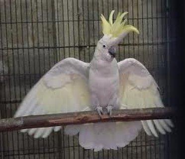 cockatoo parrots birds2