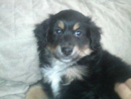 Sweet Mini Aussie Puppy