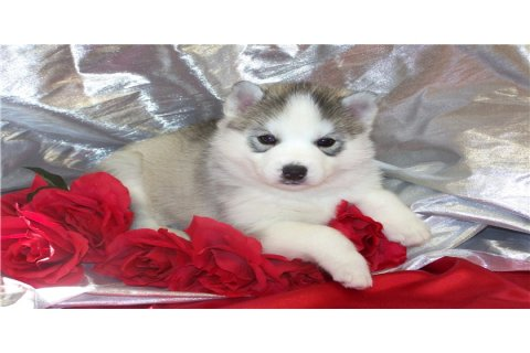 Adorable siberian husky puppies looking for good homes who will