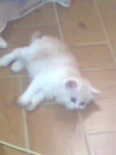 قطة شيرازي عمر شهرين ( يوجد ذكر او انثى)