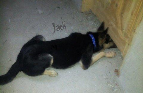 فرصة جيدة بلاك جاك للحراسة كلب عالي