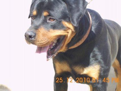 كلب رود فيلر للبيع بسعر مغرى
