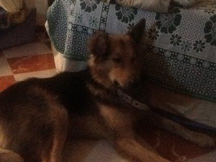 مطلوب كلبة صلاحه للجوز او للبيع