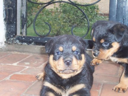 Rottweiler puppies imported parents