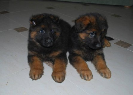 imported male and female GSD puppies
