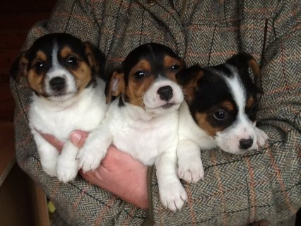 Jack Russell smooth coat puppies 8 weeks old