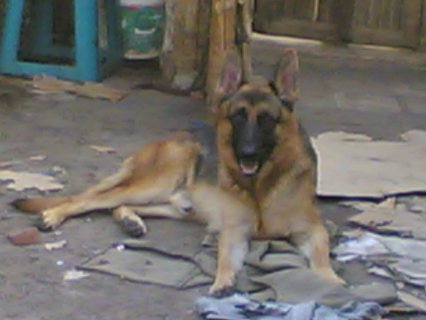 كلب جيرمن بيور