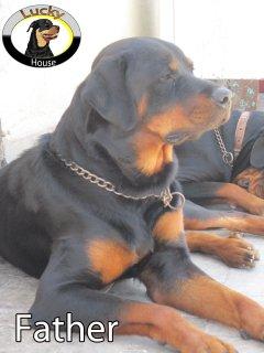 [جراوى روت فيلر أمريكى بيور ,أصول وارد خارج,Rott weiller puppies