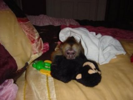 صور Female Capuchin Monkey 1
