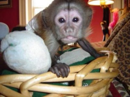 sweet well tamed male and female capuchin monkeys available for