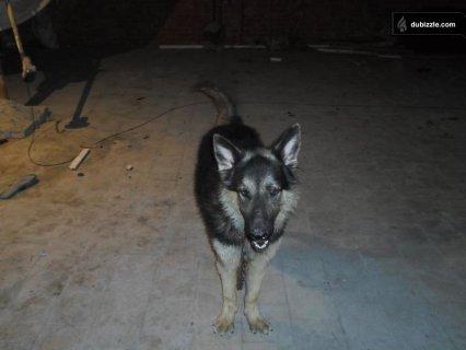 كلب جيرمن للبيع 24 شهر شرس جدا