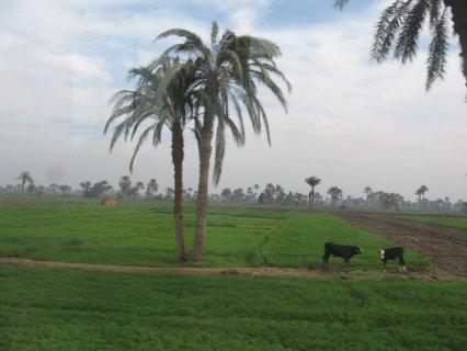 فرصة فدان ونصف ارض زراعية للبيع كاملا اومجزا ب 25000جنية القيراط