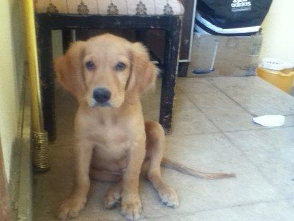 كلب جولدن رتريفر للبيع