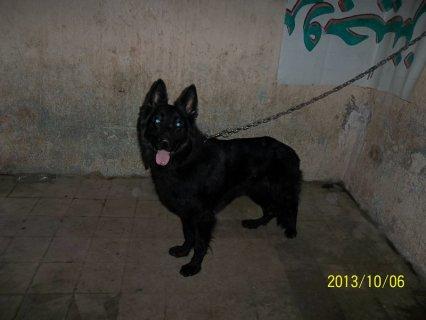 كلب بلاك كود راجل اوي وسعر معقول جدا
