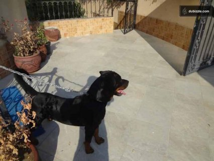 A male rottwieler dog 13 month for mating in alobour city 0