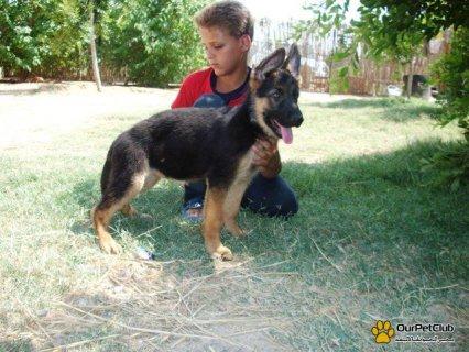 هذا الكلب سنه 4 شهور نوع هذا الكلب جيرمن شيبرد