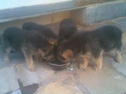 dogs for sale for low amount of money bgd walhawy msh bahzer