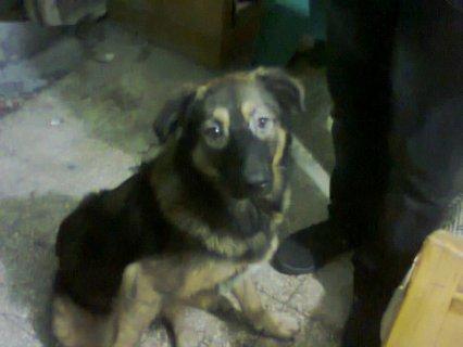 كلب بيور للبيع