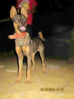 كلب دوبر مان على جيرمان ( للبدل او للبيع)