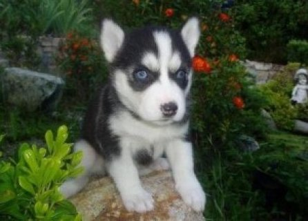 Pretty Siberian Husky Puppies