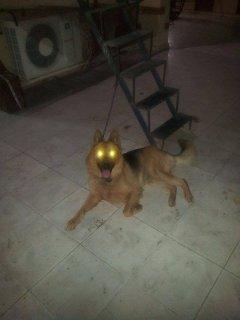 كلب جيرمن لونج هير