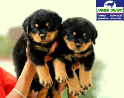 up for sale one of the best Rottweiler puppies .