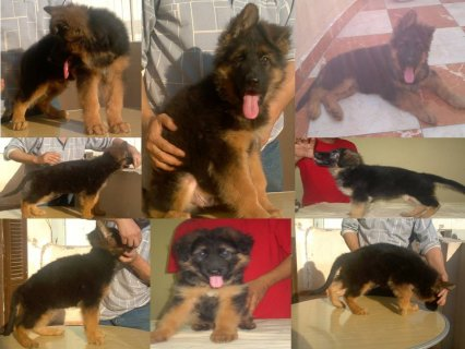 Greman shepherd puppies