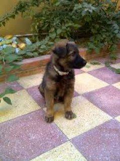 كلب جيرمن شيبرد المانى