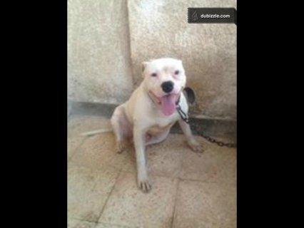 قص بيتبول للبيع..pitpull Dogs for sale.