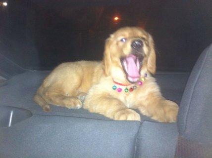 كلب جولدن للبيع والصور تحكم