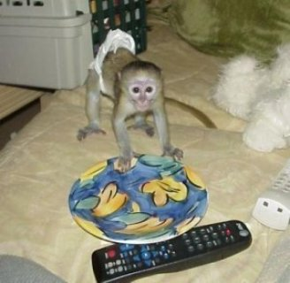 Very interesting capuchin monkey available for re-homing