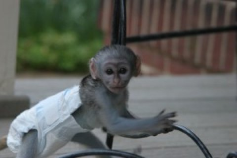 cute and adorable Capuchin Monkey For Free Adoption
