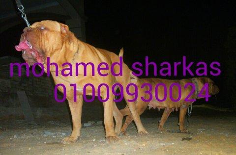 اجمل شاب فرنش ماستيف 7شهور 01009930024 محمد شركس