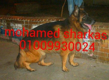 كلاب بلجيكى للبيع ميل اللوان كسحه عراقيب 01009930024محمد شركس